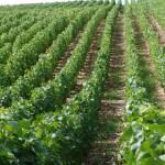 Acheter un vignoble, avantage d'un GFV